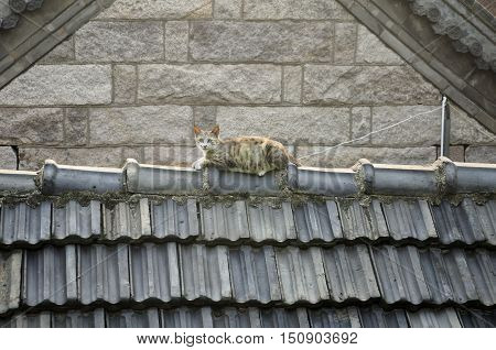 A small cat resting on the crest of a slated chinese roof at the Laozi scenic area in Qingdao China.