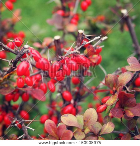 Red barberries on the bush in the yard. Close up. Barberry berries are on a branch close-up. Valaam. Russia.