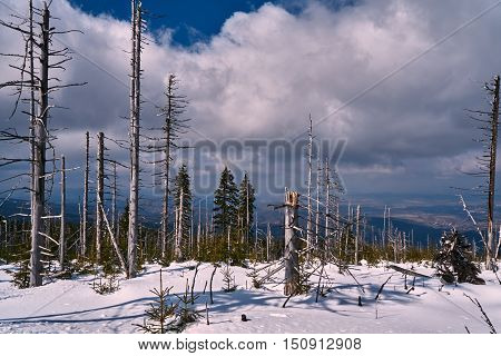 Buried in snow forest and dry trees in the Giant Mountains in Poland