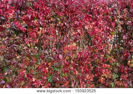 Virginia Creeper in autumn colors with dark berries