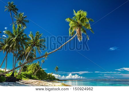 Tropical beach on south side of Samoa Island with coconut palm trees