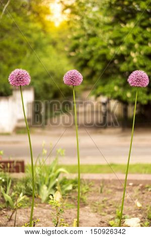 three purple alliums flowers in a row with blurred background