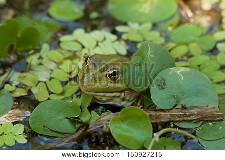 closeup green frog on the leaves of the water Lily