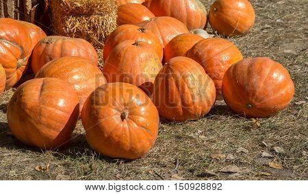 Pumpkin Patch In A Field Of Straw