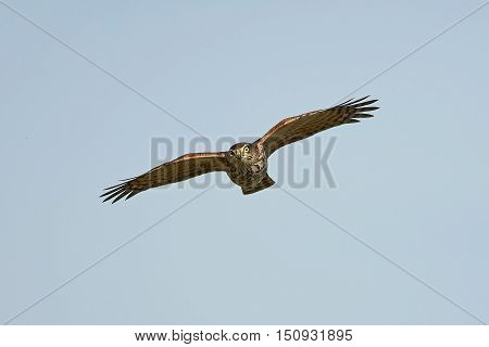 Eurasian sparrowhawk (Accipiter nisus) in flight seen from the front