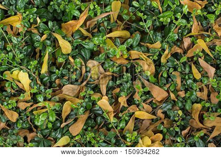 green leaves and dry leaves in the garden