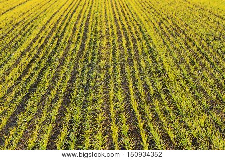 Autumn sowing of wheat fields, winter wheat, wheat stairs