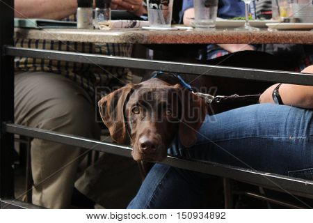 Chocolate labrador retriever under outdoor cafe table with diners' legs visible.