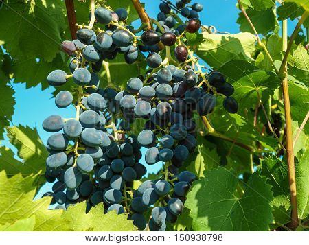 Ripe bunch of blue grapes awaiting harvest pores
