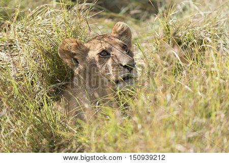 Juvenile african lion hiding in long grass Masai Mara National Reserve Kenya Africa