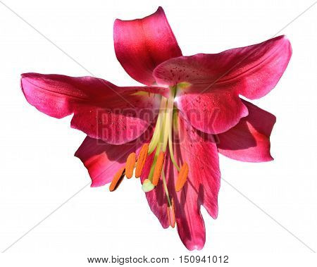 beautiful bright crimson lily isolated on white