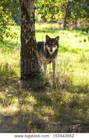 North American Gray Wolf, Canis Lupus, standing in a forest