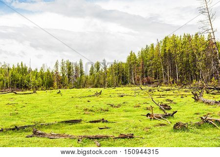 Petrified forest in Yellowstone  National Park with fallen trees and green grass