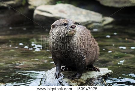 Asian short clawed otter standing on a rock in a river