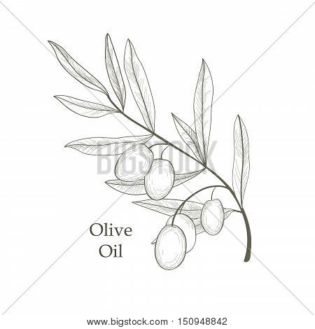 Olive Tree Branch With Olives Isolated Sketch Over White Background Retro Olive Branch Engraving Vec