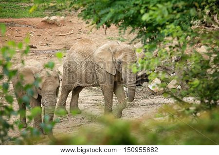 Two African elephants in the wild