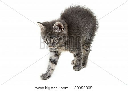 Grey cute kitten isolated on white background. sitting kitty,