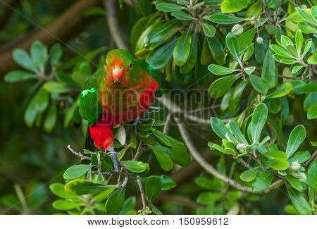 Curious Australian King-parrot (Alisterus scapularis)in the tree, seen near Apollo Bay on the Grat Ocean Road, Victoria - Australia.