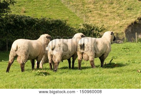 Rear View Of Three Shropshire Sheep In Meadow