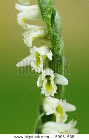 Autumn Lady's Tresses Orchid Flower Detail - Spiranthes Spiralis