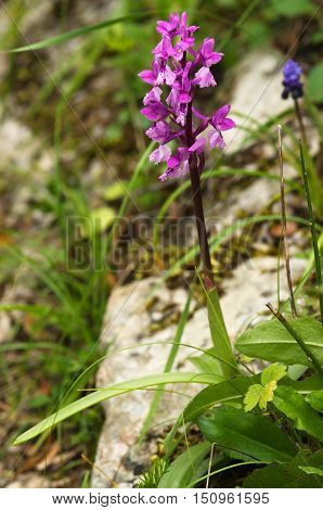 Wild Early Purple Orchid Plant – Orchis Mascula