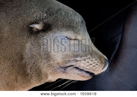 Sealion Sleep