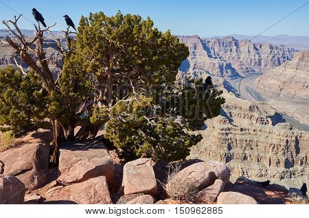 Ravens On Old Juniper Tree In Grand Canyon