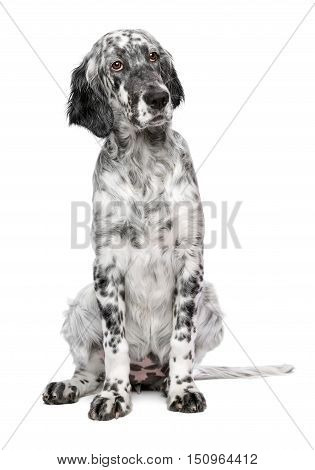 Cute 4 months old blue belton english setter puppy - show quality female dog - isolated on white background