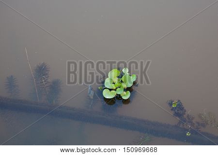 Aquatic plant blossoms on lake with underwater trunk