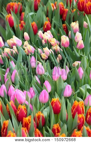 Flowers Tulip. Beautiful colorful bouquet of tulips in spring
