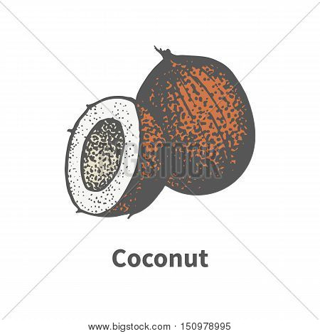 Vector illustration doodle sketch hand-drawn brown ripe coconut. Isolated on white background. The concept of harvesting. Vintage retro style. Part slice cut half a coco.