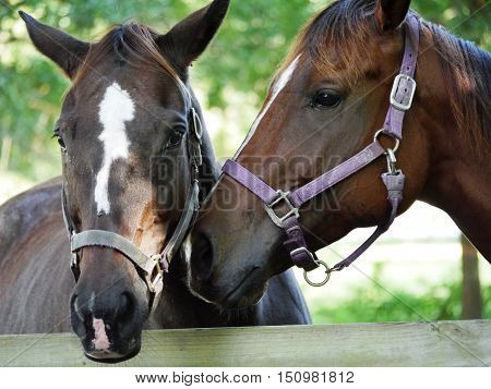 Two Thoroughbreds out in the pasture together