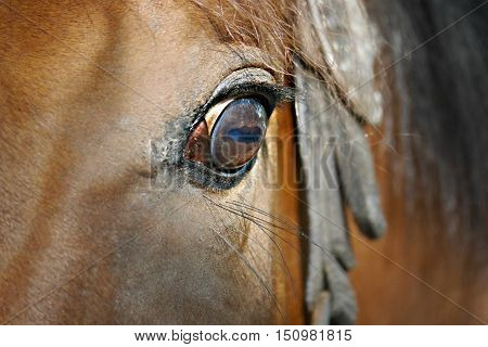 close-up of a bay thoroughbred racer's eye