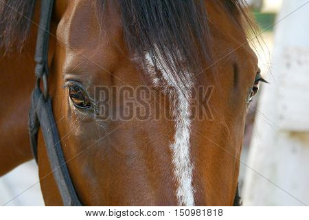 close-up of a bay thoroughbred ex-racer's face