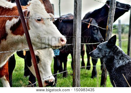 Cattle Stock Cow Dog Pet Farm Fence