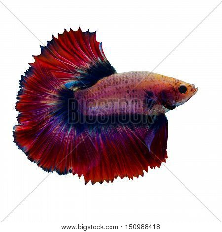 Siamese fighting fish isolated on White background.