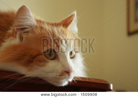 Pussy Cat On Table
