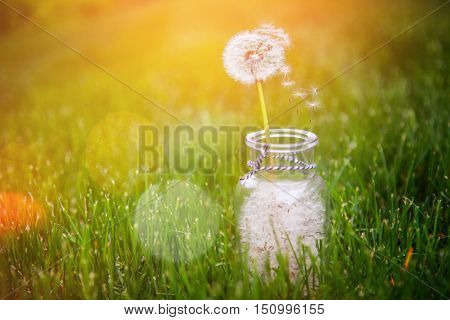 Dandelion seed wishes, saved in a bottle. Focus on floating seed and stem