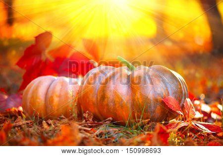 Autumn Halloween Pumpkin. Thanksgiving day background. Pumpkin patch. Beautiful Holiday Autumn festi