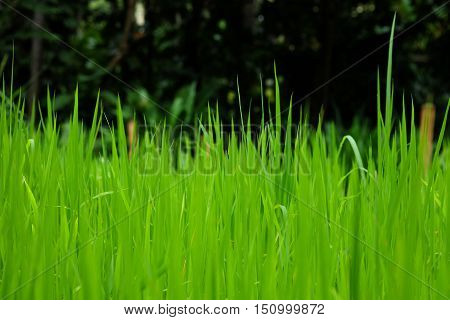 Rice fields Or grass green Close to the forest with trees more dense.