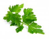 Fresh branch of green parsley natural food isolated over white background