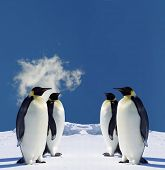 stock photo of south-pole  - Four Penguins in Antarctica - JPG