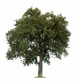 picture of apple tree  - Isolated apple tree against a white background - JPG
