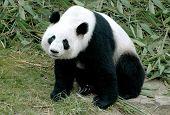 Постер, плакат: Гигантская панда