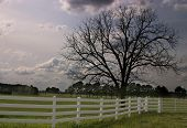stock photo of pecan tree  - Picture of a pecan tree in early spring - JPG