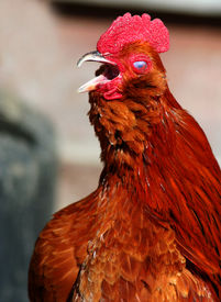 picture of banty  - Banty rooster crowing and making lots of noise - JPG