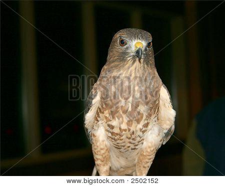 Staring Hawk