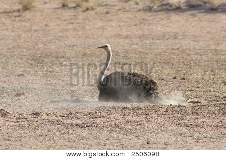 Kalahari Dust Bath