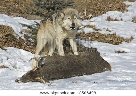 Gray Wolf On Prey