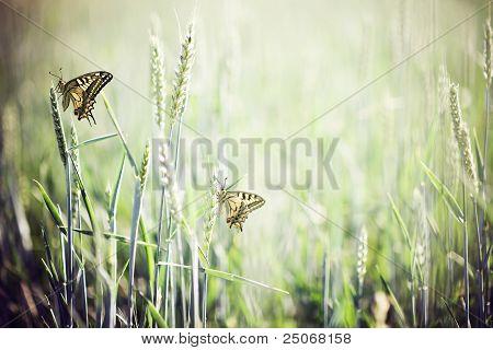 casal de borboletas